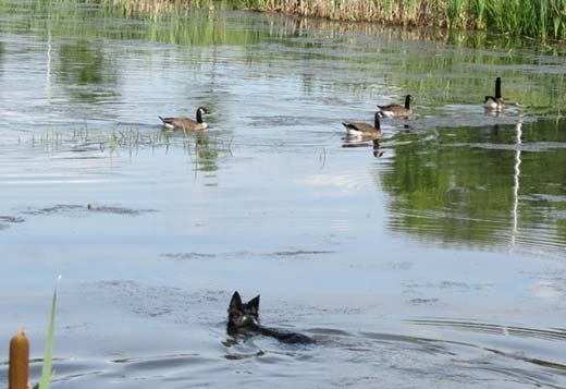 Border Collie swimming after geese